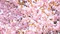 桜(ティルトアップ撮影) 43908628