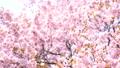 벚꽃 (틸트 다운 촬영) 43908629