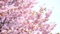 벚꽃 (고정 촬영) 43908630