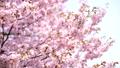 벚꽃 (틸트 다운 촬영) 43908631