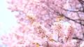 桜(ティルトアップ撮影) 43908632