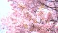 벚꽃 (틸트 다운 촬영) 43908633