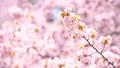 桜(ティルトアップ撮影) 43908634
