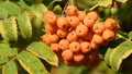 Fruits of rowanberry close-up 43917437