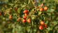Rose hips on bush 43917439