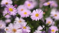 Autumn asters flowers 43917440