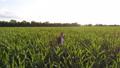 トウモロコシ コーン とうもろこしの動画 44054799