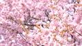 Cherry blossoms (tilt up shooting) 44117084