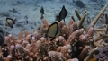 フタスジリュウキュウスズメダイに紛れて暮らすナンヨウハギの子 水中映像 水中動画 動画 映像 44145758