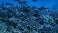 ノコギリダイの群れ 水中動画 水中映像 映像 動画 44145768