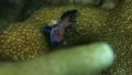 ニシキテグリ Mandarinfish 水中映像 水中動画 Mandarin dragonet 映像 44145769