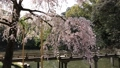 weeping cherry tree, koraku-en, Japanese Gardens 44318726