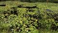 hitonuma, water lily, water-lily 44318736