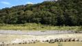 <相模川>在神奈川縣相模原市放電(固定攝影)增加的相模川 44373688