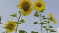 해바라기, 꽃, 화초 44375682