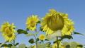 해바라기, 꽃, 화초 44375692