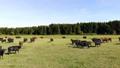 牧场 动物 奶牛 44392401