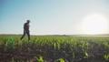The senior farmer walks on the field and checks the corn harvest. FullHD 44409130