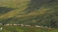 Herdmen driving a flock of sheep down the green 44459666