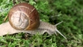 Helix pomatia also Roman snailBurgundy snail 44476275