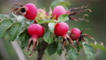 rosehip fruit and leaves in autumn forest 44498174