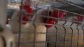 鸡 鸡肉 胆小鬼 44515038