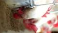鸡 鸡肉 胆小鬼 44515144