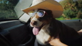 The dog travels with the owner in the car. The pet is wearing sunglasses 44575525