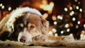 Portrait of a shepherd dog by the fireplace. Behind the lights are visible lights on the Christmas 44628937