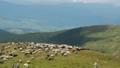 Carpathians mountains at summer. Flock of sheep 44667028