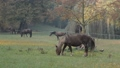 Horses grazing on the meadow.  No camera movement. 44703432
