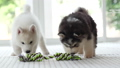 Two puppy  playing with Colorful Rope Toy 44738973