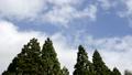 杉林と流れる雲 44802446