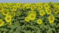 Field of blossoming sunflowers against the blue sk 44811983