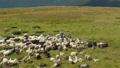 Three herdmen tending a flock of sheep. Herd of 44836426