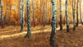 falling leaves from a birch tree in the autumn forest 44896102