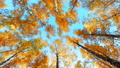 falling leaves from a birch tree in the autumn forest 44896103