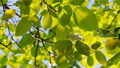 Footage of some fresh green leaves on a tree blown by the wind 45017499