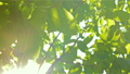 Footage of some fresh green leaves on a tree blown by the wind 45017502