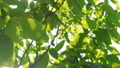 Footage of some fresh green leaves on a tree blown by the wind 45017504