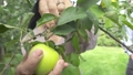 Adult woman plucks an apple in the garden 45077587