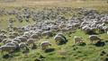 herd, sheep, lamb 45102561