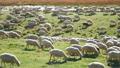 herd, sheep, lamb 45102564