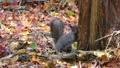 尋找在秋葉的灰鼠食物 45132945