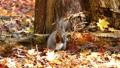 สัตว์ป่า,กระรอก,ต้นเมเปิล 45132946