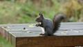 在長凳的灰鼠哺養的誘餌在秋天公園 45132949