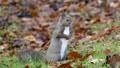 擺在秋葉的灰鼠.1 45132950