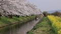 4月 桜咲く近江八幡水郷めぐり 45139733