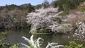 3月  龍安寺鏡容池の桜 -京都の春- 45139734