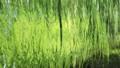 8月 緑一色の川面 45139823